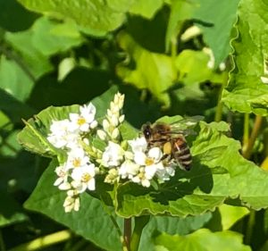 Norsk bokhvete – frø & honning